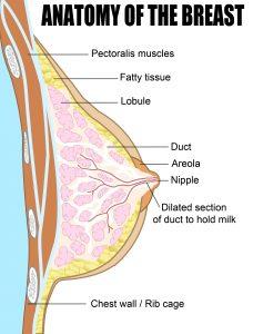 Breast - Anatomy